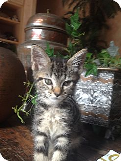 Domestic Shorthair Kitten for adoption in Tampa, Florida - Ellie