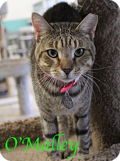 Domestic Shorthair Cat for adoption in Bradenton, Florida - O'Malley