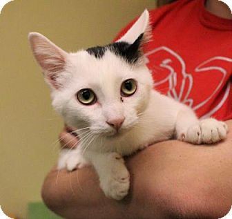 Domestic Shorthair Kitten for adoption in West Des Moines, Iowa - Morry