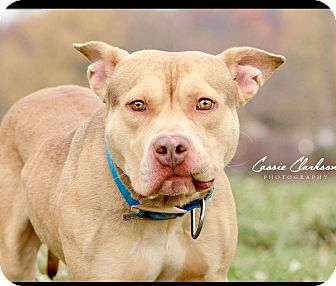 American Pit Bull Terrier Mix Dog for adoption in Zanesville, Ohio - Mickey - ADOPTED!