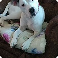 Pit Bull Terrier Dog for adoption in Richmond, Virginia - Lucy in Richmond, VA