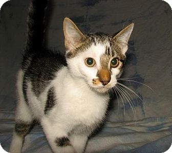 Domestic Shorthair Kitten for adoption in Norwich, New York - Bowie