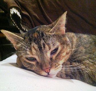 Domestic Shorthair Cat for adoption in Cerritos, California - Street