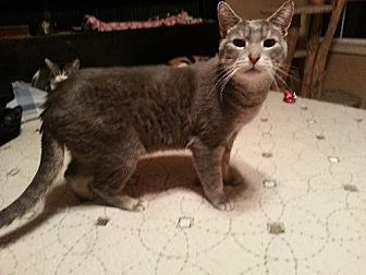 Domestic Shorthair Cat for adoption in Whitewater, Wisconsin - Flea