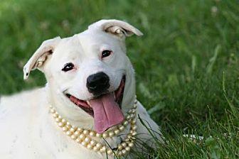Labrador Retriever Dog for adoption in Marion, Kentucky - Mila