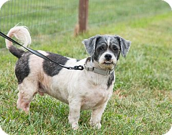 Shih Tzu Mix Dog for adoption in Seville, Ohio - Roscoe