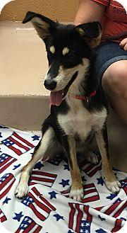 Border Collie/Husky Mix Dog for adoption in Battle Creek, Michigan - Belle