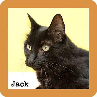 Domestic Mediumhair Cat for adoption in Aiken, South Carolina - Jack