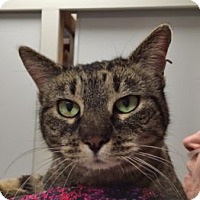Domestic Mediumhair Cat for adoption in Denver, Colorado - Rosie