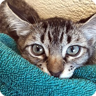 Domestic Shorthair Kitten for adoption in Las Vegas, Nevada - Linda