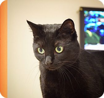 Domestic Shorthair Cat for adoption in Dallas, Texas - Becky Boo