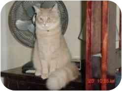 Domestic Longhair Cat for adoption in Pasadena, California - Daniel