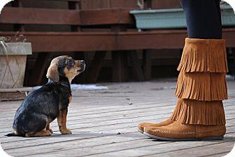 Hound (Unknown Type)/Terrier (Unknown Type, Medium) Mix Puppy for adoption in Mt. Prospect, Illinois - Madison
