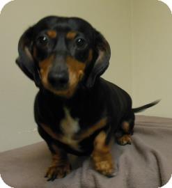 Dachshund Mix Dog for adoption in Gary, Indiana - Sally