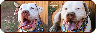 American Pit Bull Terrier Mix Dog for adoption in Scottsdale, Arizona - Hugo