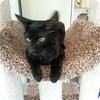 Oriental Cat for adoption in Valley Park, Missouri - Nala
