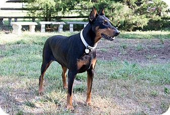 Doberman Pinscher Dog for adoption in Greensboro, North Carolina - ALLIE