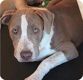 American Bulldog/Basset Hound Mix Puppy for adoption in Sylacauga, Alabama - Chandler