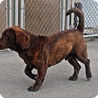 Adopt A Pet :: Milo - Beebe, AR