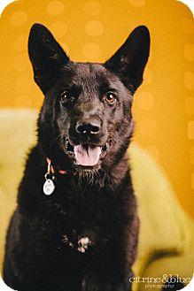 Labrador Retriever/Husky Mix Dog for adoption in Portland, Oregon - Fluke