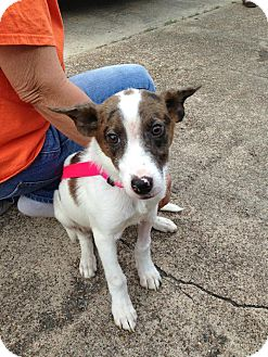 Jack Russell Terrier/Terrier (Unknown Type, Small) Mix Dog for adoption in Silsbee, Texas - Jasper