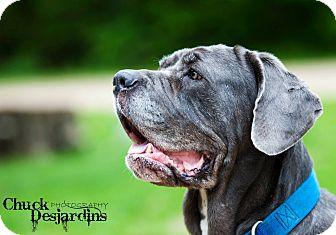 Neapolitan Mastiff Dog for adoption in La Pêche, Quebec - Pazzo