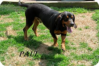 Basset Hound Mix Dog for adoption in Shelby, North Carolina - Paul
