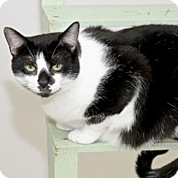 American Shorthair Cat for adoption in Ruskin, Florida - Jenny