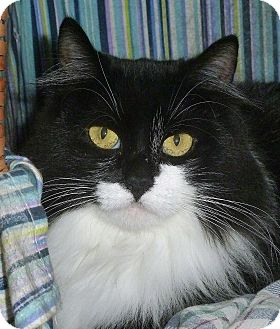 Domestic Mediumhair Cat for adoption in Carmel, New York - Dylan