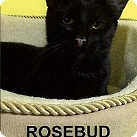 Adopt A Pet :: Rosebud - Medway, MA