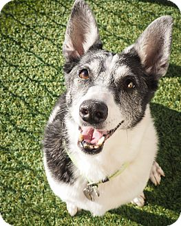 Jack Russell Terrier/Terrier (Unknown Type, Small) Mix Dog for adoption in Phoenix, Arizona - Riley