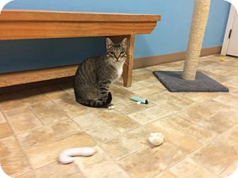 Domestic Shorthair Kitten for adoption in Monroe, Louisiana - Clive