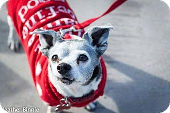 Chihuahua/Australian Cattle Dog Mix Dog for adoption in Tucson, Arizona - Jack