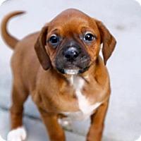 Adopt A Pet :: Honey - Denver, CO