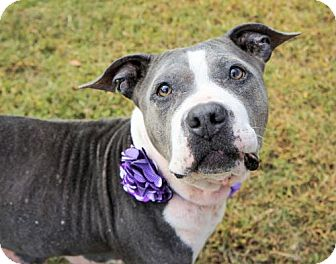 American Pit Bull Terrier Dog for adoption in Virginia Beach, Virginia - 1608-0807 Quorn (Special Needs)