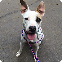 Adopt A Pet :: Sweetie  in CT - Manchester, CT