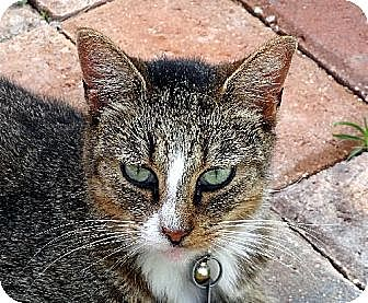 Domestic Shorthair Cat for adoption in Palm City, Florida - Binky