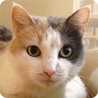 Domestic Shorthair Cat for adoption in Weatherford, Texas - Ginger