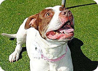 Pit Bull Terrier Mix Dog for adoption in Elizabethtown, Pennsylvania - MAE