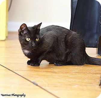 Domestic Shorthair Cat for adoption in Nashville, Tennessee - Minnow