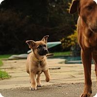 Adopt A Pet :: Puppy Aloise - North Bend, WA