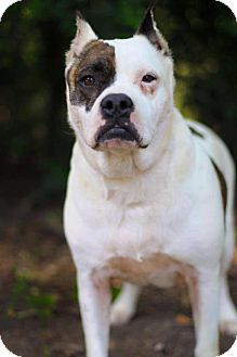 Pit Bull Terrier Mix Dog for adoption in Longview, Texas - Reveille