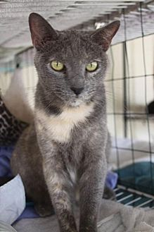 Domestic Shorthair Cat for adoption in New Bern, North Carolina - Alopecia