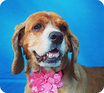Cocker Spaniel Dog for adoption in Irvine, California - Carmela