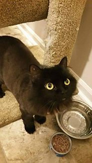 Domestic Longhair Cat for adoption in Lee's Summit, Missouri - TT - Courtesy Listing