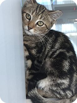 Domestic Shorthair Kitten for adoption in Prince George, Virginia - Austin