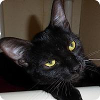 Bombay Kitten for adoption in Long Beach, California - Sashay