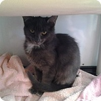 Adopt A Pet :: Belle - Middletown, CT