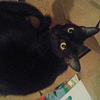 Domestic Shorthair Cat for adoption in Carlisle, Pennsylvania - PlayfulCP