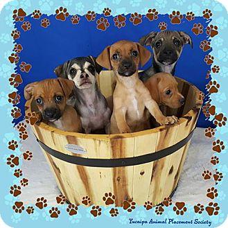 Chihuahua Mix Puppy for adoption in Yucaipa, California - Manchu